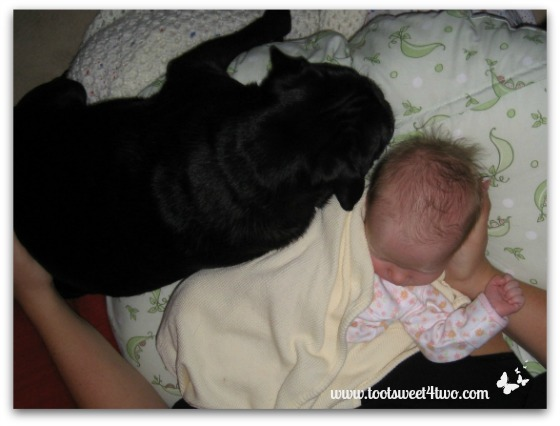 Our black pug, Sid, with the newborn Princess P