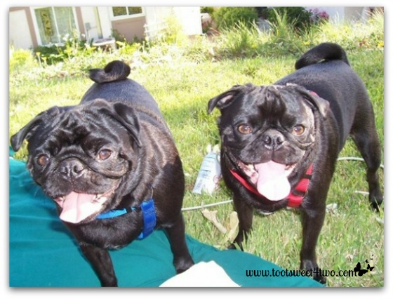 Sid and Samson, our black pugs, in the yard