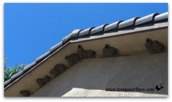 Cliff Swallow nests on the east side of our house - Exaltation of Larks