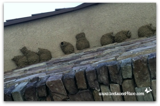 Cliff Swallows nest under our front entrance - Exaltation of Larks