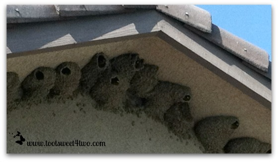 Cliff Swallows peeking out of their nests - Exaltation of Larks