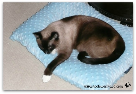 Coco on his soft Costco pillow - The Squish Factor