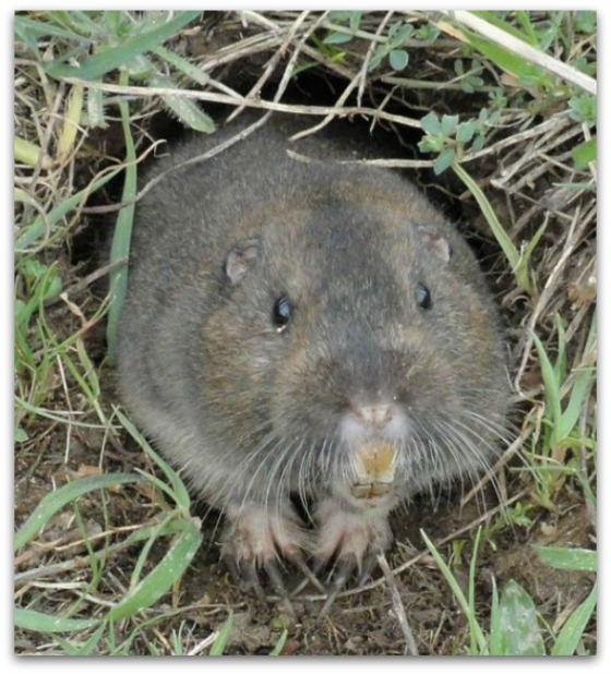Pocket Gopher - By Way of the Dodo Bird