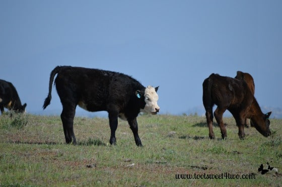 Calf looking for his mom...