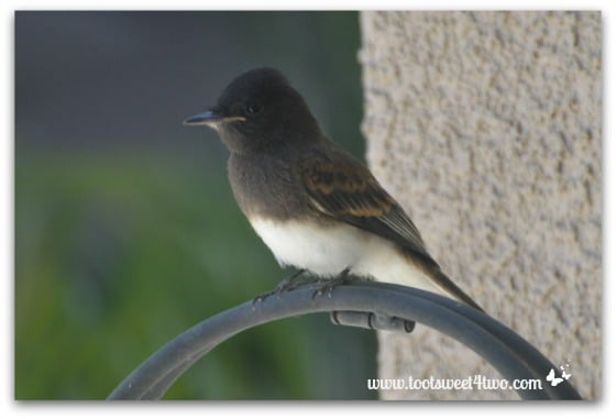 Black Phoebe outside our window
