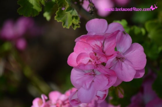 Pink Geranium from my mother