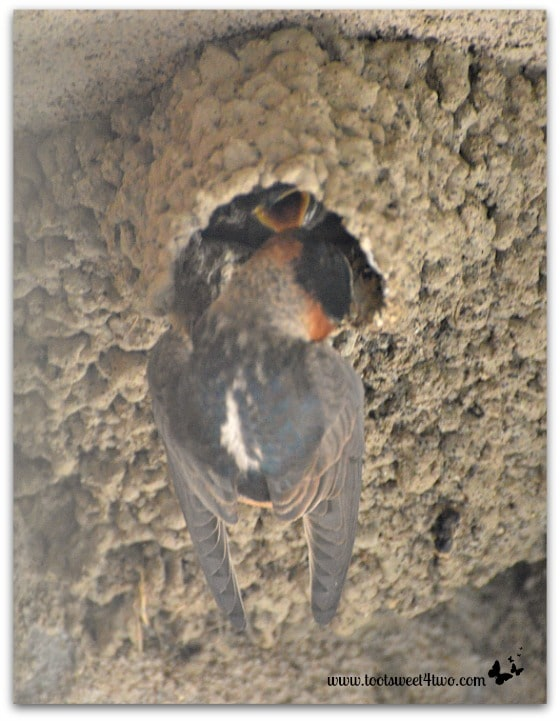 Baby Swallow's feeding time