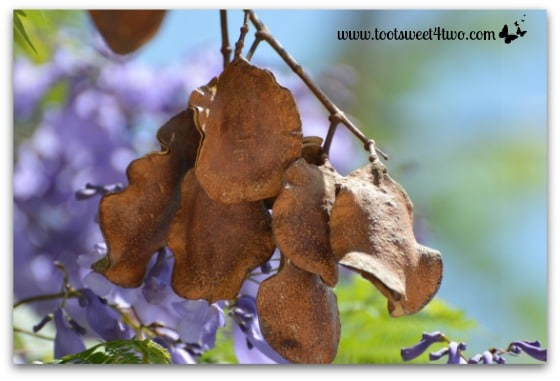 The seed pods of Jacaranda trees