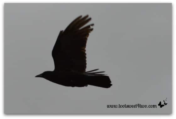 Crow on the wing