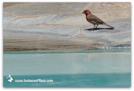 Red House Finch contemplating pool