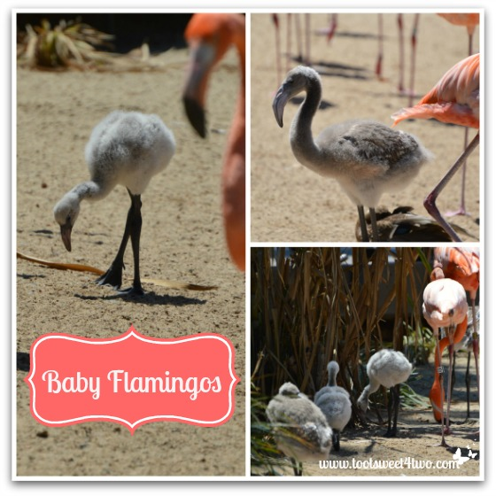 Baby Flamingos at the San Diego Zoo