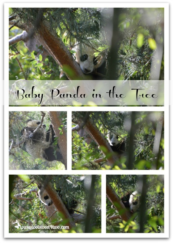 Baby Panda in the tree at the San Diego Zoo