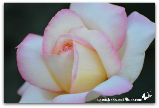 Cream and Pink Rose - Pretty in Pink