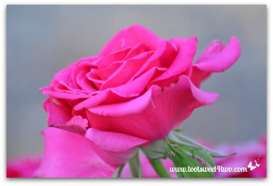 Fuchsia rose - Pretty in Pink