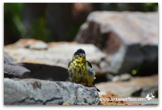 Magnolia Warbler - all clean!