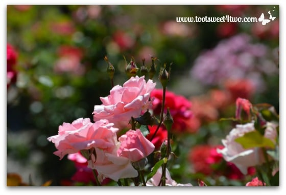 My Rose Garden - Pretty in Pink