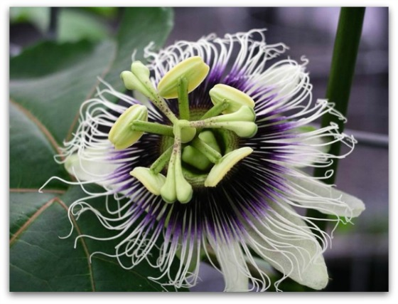Passion Flower - Source  Wikipedia.  Creative Commons license.