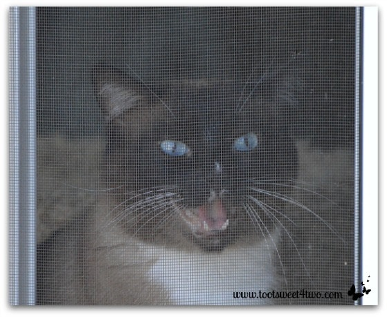 Coco caterwauling through the window screen