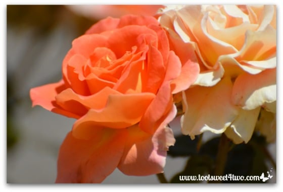 Orange and apricot rose