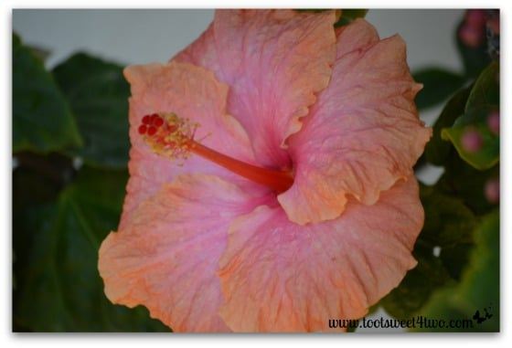 Orange and pink hibiscus