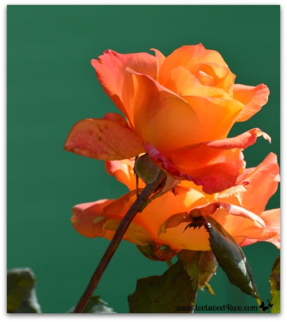 Orange rose at Spencer Valley School