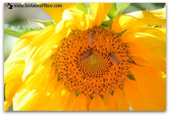 Sunflower close-up and 3 bees
