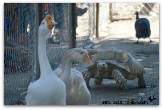Turtle chasing geese at Bates Nut Farm