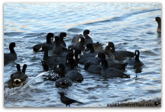 A raft of American Coots head into Lake Poway