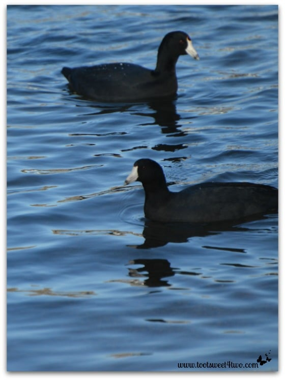 American Coots on the water
