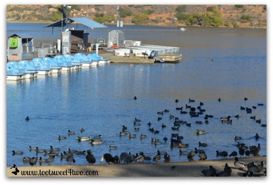 Ducks and American Coots on Lake Poway
