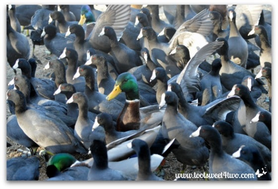 Mallard surrounded by American Coots