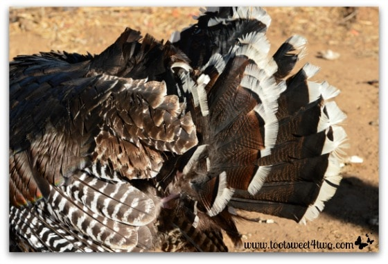 Ruffled turkey feathers