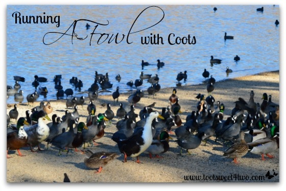 Running A-Fowl with Coots cover