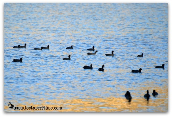 The American coots of Lake Poway