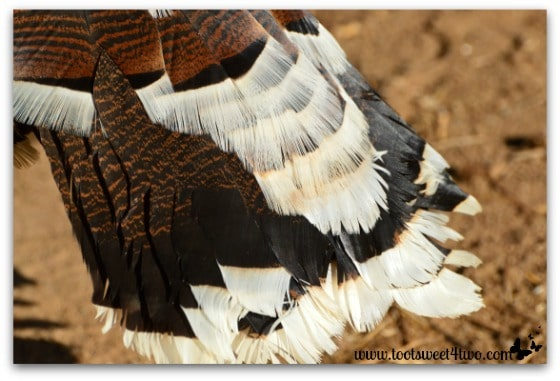 Turkey tail feathers