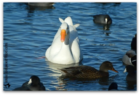 White goose and female duck swimming