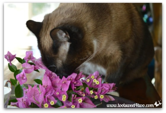 Coco crushing on Bougainvillea - Picture Perfect