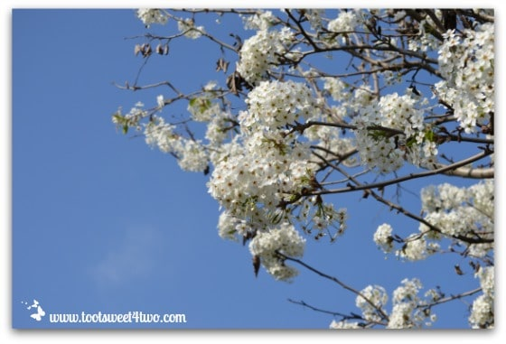 Flowering Pear Tree - The Best of the Rest of Your Life