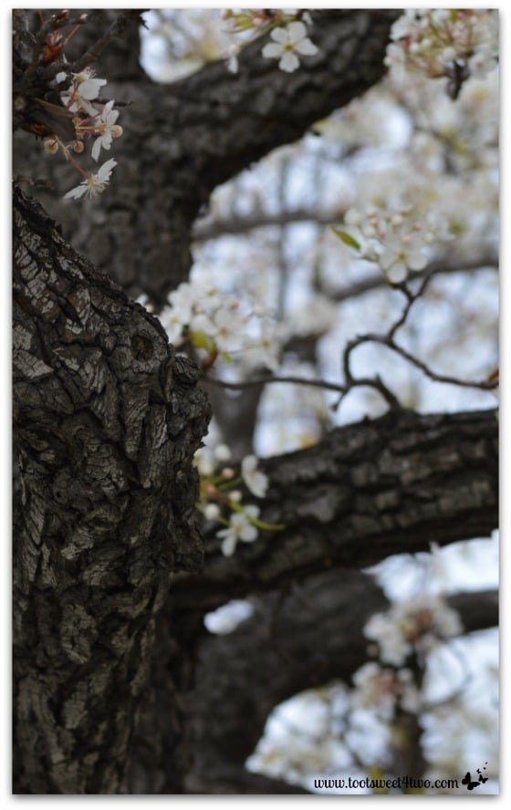 Flowering Pear Tree Trunk vertical - The Best of the Rest of Your Life