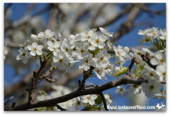 Flowering Pear Tree branch - The Best of the Rest of Your Life