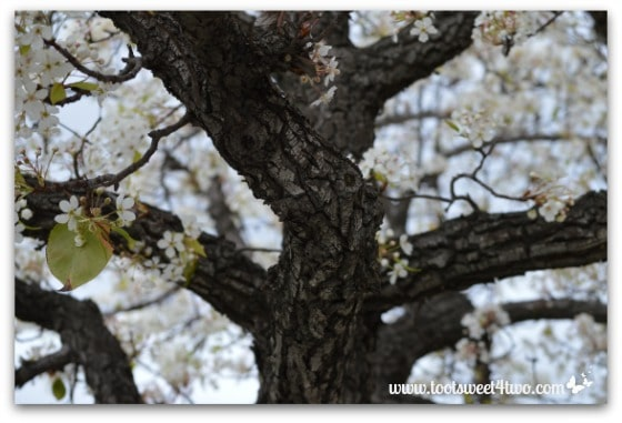 Flowering Pear Tree trunk - The Best of the Rest of Your Life