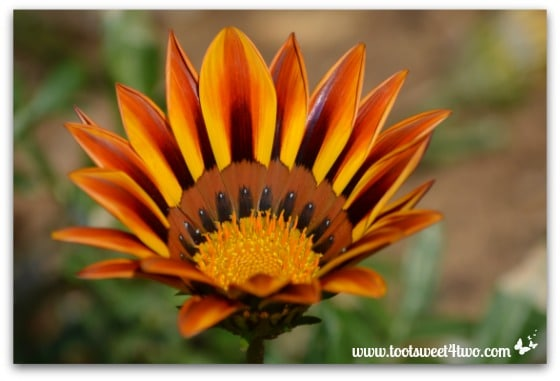 Gazania - The Best of the Rest of Your Life