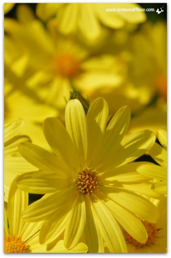 Yellow daisies vertical - The Best of the Rest of Your Life