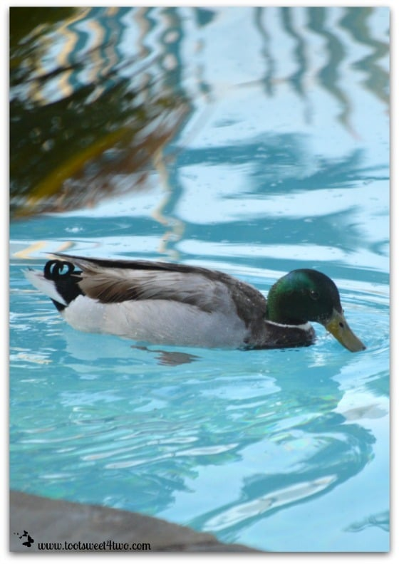 Mallard in my pool - 42 Shades of Green