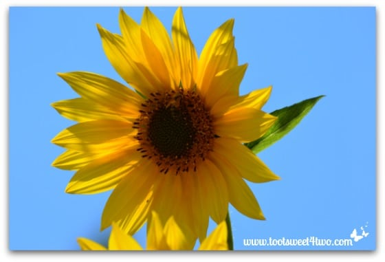 Sunflower in the blue sky - My Favorite Day