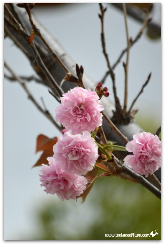Cherry blossom tree at Temecula Pond - The Fairest Blossom