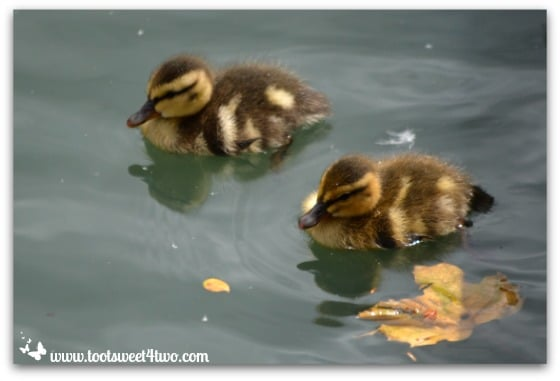 2 baby ducklings swimming - Things I've Learned in 2 Years of Blogging