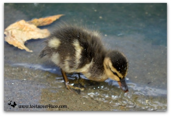 Baby duck shaking water droplets off his body - Things I've Learned in 2 Years of Blogging
