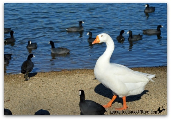 Goose and American Coots on Lake Poway - Things I've Learned in 2 Years of Blogging