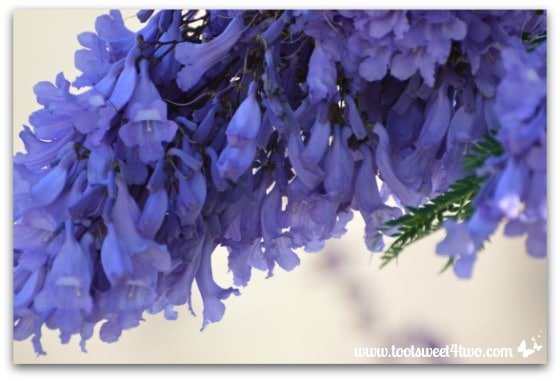 Jacaranda tree branch dripping in blossoms - Ant Bait